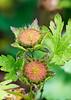 Modiola caroliniana Fruit