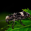 Unkown Chevroned Beetle