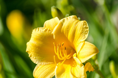 Yellow day lily, macro
