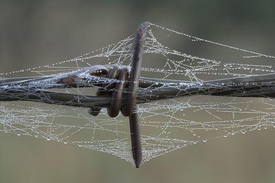 Dew on spider web around barbed wire