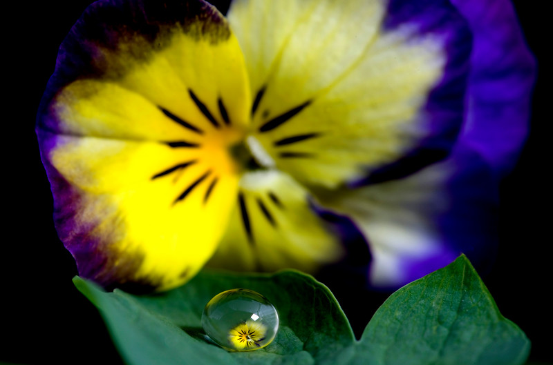 Pansy close up