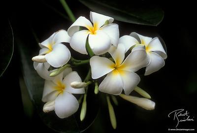 White Plumaria