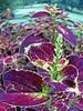 purple leaf begonias