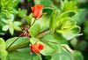 Scarlet Pimpernel (Anagallis arvensis var arvensis). 18x stack with Nikon D800E & Zeiss 100mm Makro-planar @ f11.