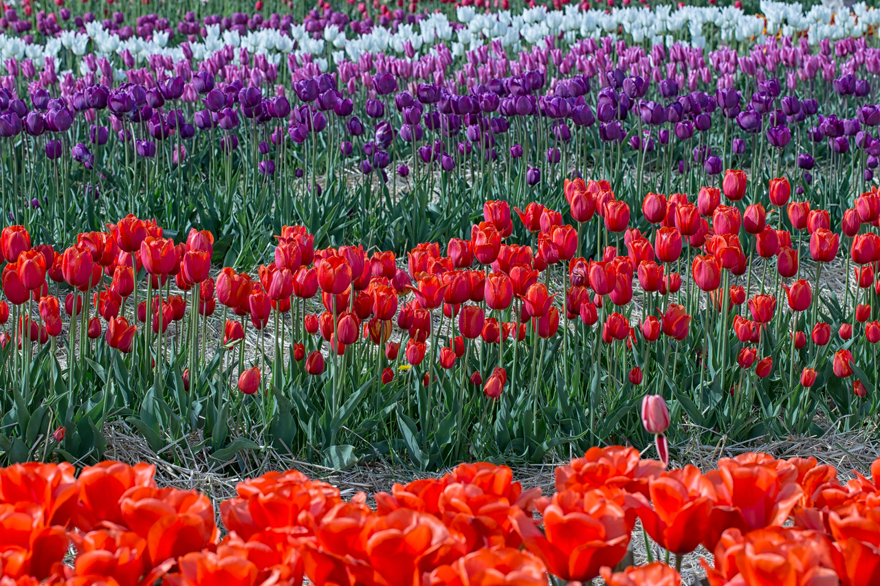 Red Rows of Wicked Tulips_3557