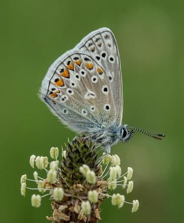 Common Blue Profile