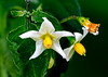 Solanum nigrum (Black Nightshade)