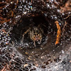 Funnel-Web Spider in Dew Covered Web 10/1/16