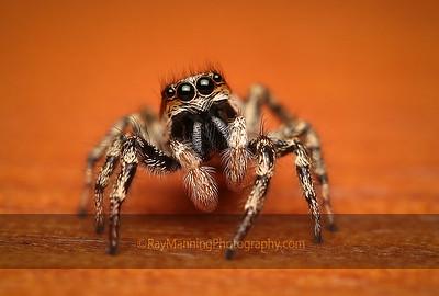 Halloween Jumping Spider