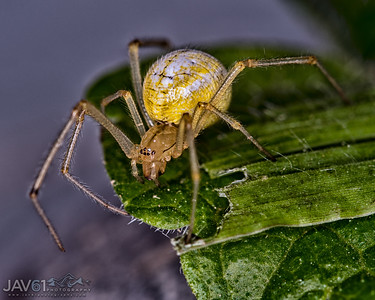 Comb-Footed spider  - Enoplognatha