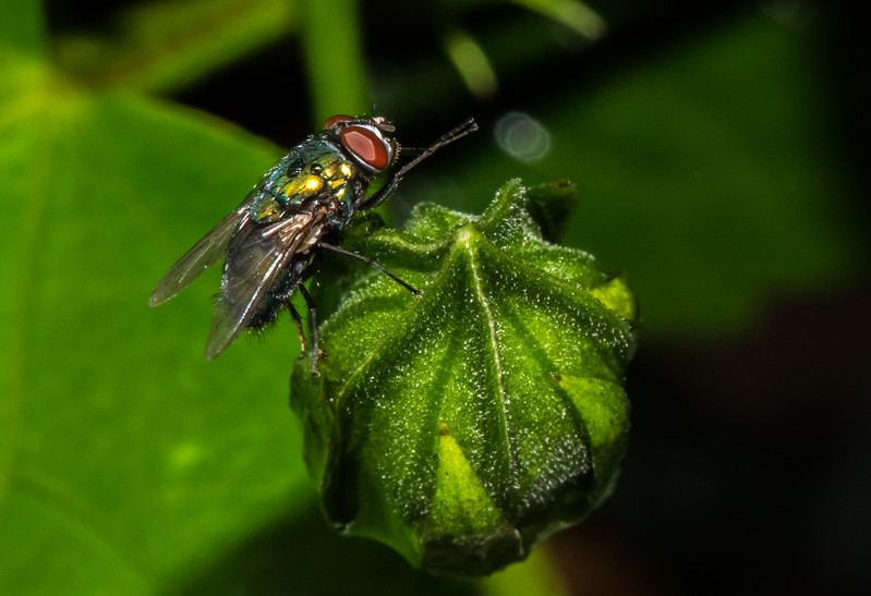 A House Fly on a Flower Bud 7/31/16