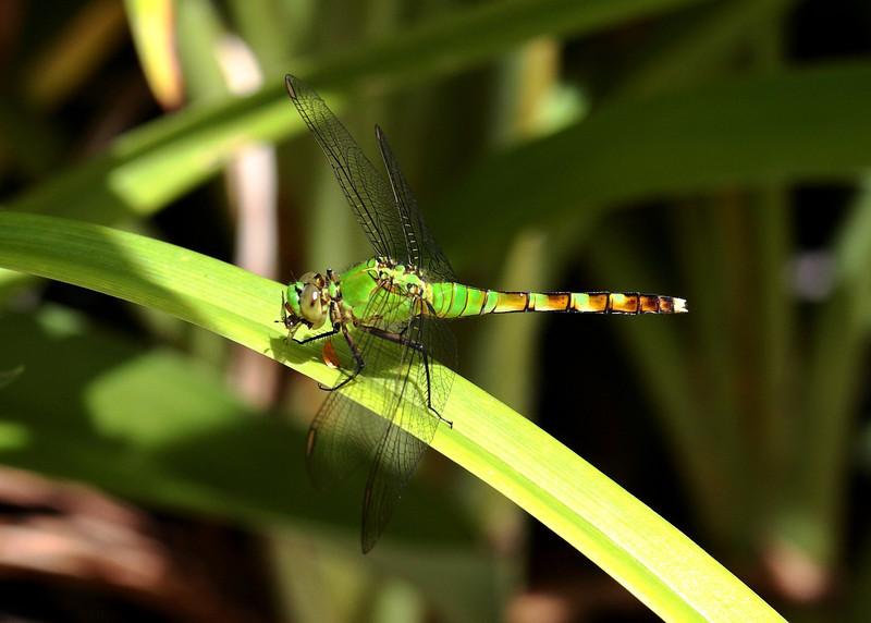 Dragonfly munching!