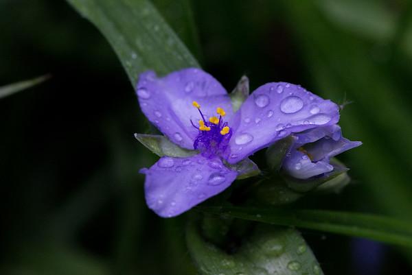 Drenched Spiderwort Bloom