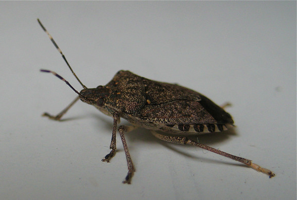 Stink bug!