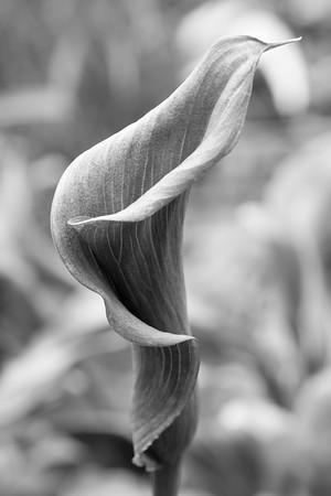 Black White Calla Lily_045