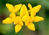 Lotus corniculatus (Birdsfoot Trefoil)