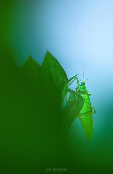 Macro - Costa Rica - rhinoceros katydid - Copiphora rhinoceros