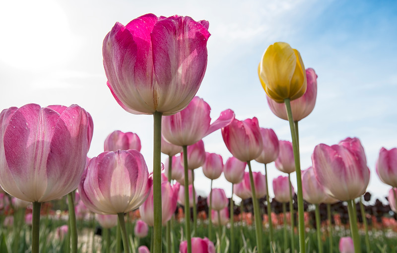 Lone Yellow and Pink Wicked Tulips_7973