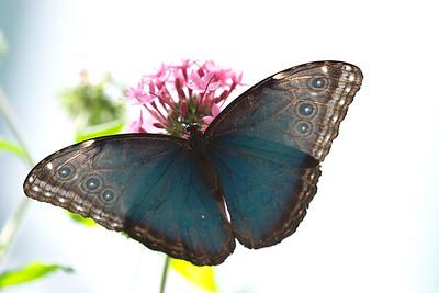 Butterfly, backlit