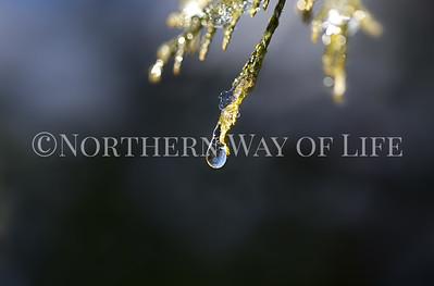 Frozen droplet on a Cedar bough: Leelanau County, Michigan