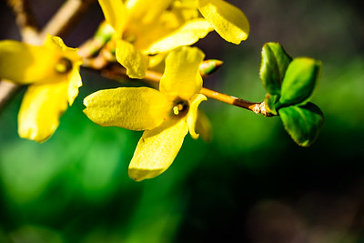 Forsythia up close and personal 3