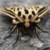 Leopard Moth?