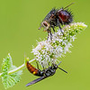 Repetitive Tachinid Fly & Wasp on Flower 8/18/16