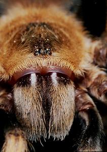Tarantula face