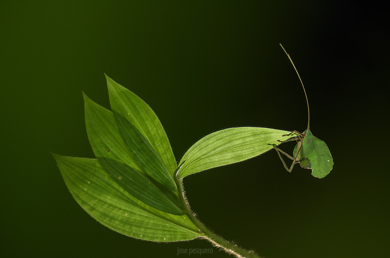Leaf Katydid (Typophyllum erosum)