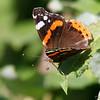 sommerfugl ps-029