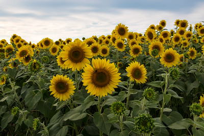 field of Sunflowers _1967