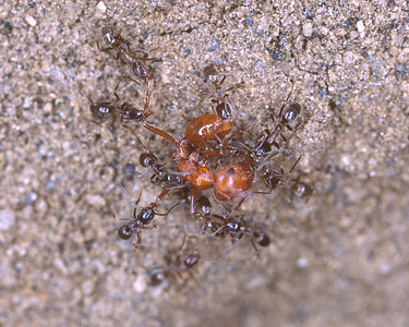 One red ant vs. many small black ants