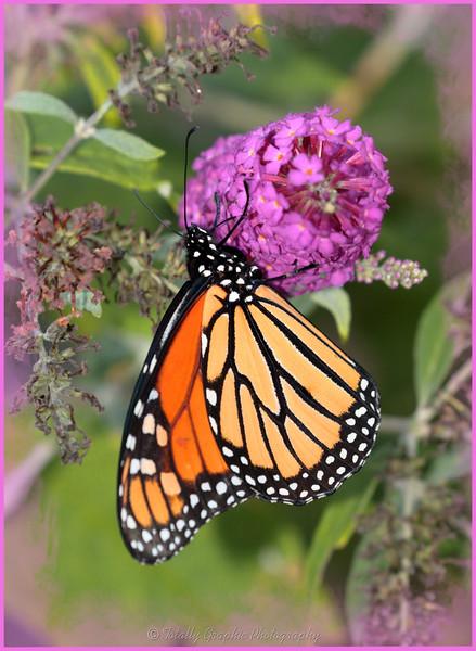 monarch butterfly, orange butterfly, butterfly,