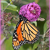 monarch butterfly, orange butterfly, butterfly,