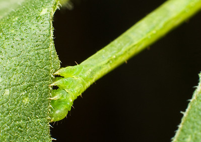 Geometridae Caterpillar