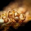 Crocosmia Seed