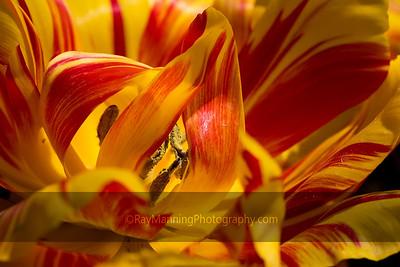 Tulip 'Monsella'