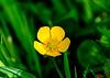 Ranunculus acris (Giant Buttercup)