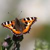 sommerfugl ps-137