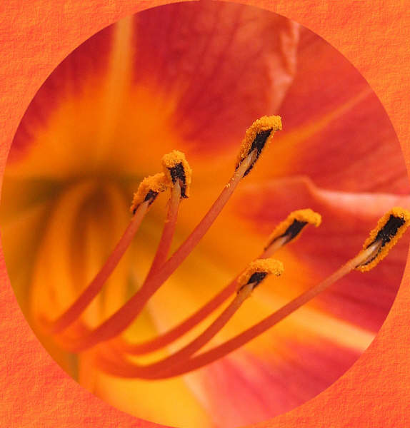 Tiger Lilly and Corel Photo Paint texture border.
