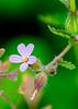 Geranium purpureum (Lesser Herb Robert)