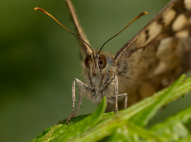 Speckled-Wood Butterfly