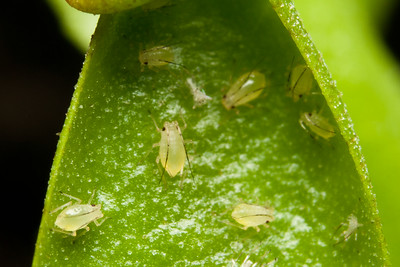 Aphids on a Venus Fly Trap