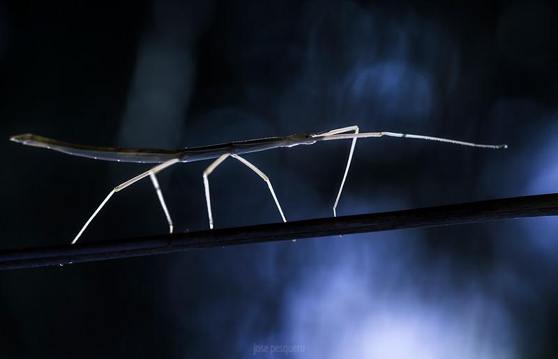 Clonopsis; Gallica