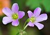 Oxalis debilis (Pink Woodsorrel)