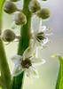 Prunus lusitanica Flower
