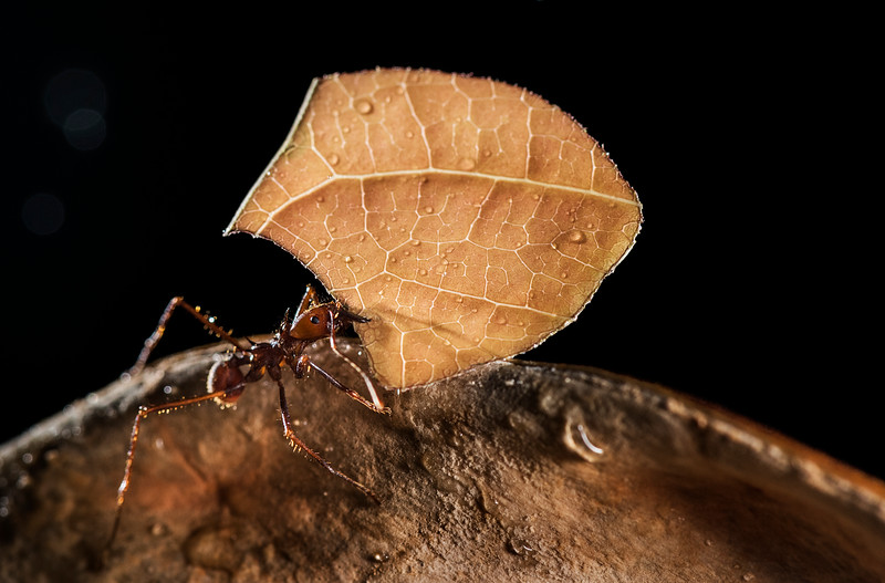 Leafcutter Ant (Atta cephalotes)
