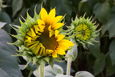 Sunflower Detail_2041