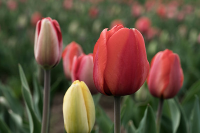 Red & Yellow Wicked Tulips_7594