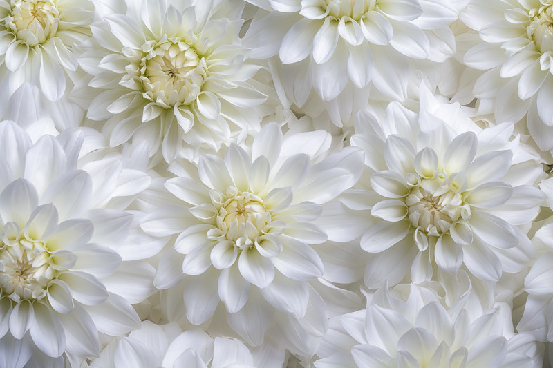 Blanket of dahlias